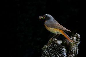 Common Redstart | Gekraagde Roodstaart (Scheveningen