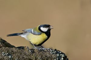 Great Tit | Koolmees (Wassenaar)