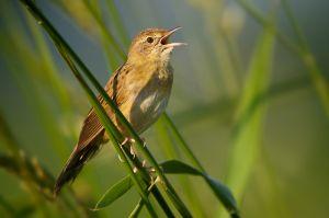 Common Grashopper Warbler | Sprinkhaanzanger (Zevenhoven)