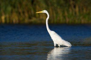 Western Great Egret | Grote Zilverreiger