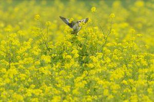 Lesser Grey Shrike | Kleine Klapekster