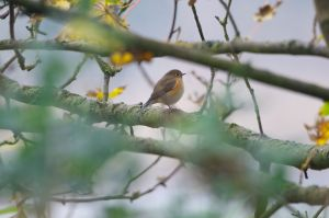 Red-flanked Bluetail | Blauwstaart
