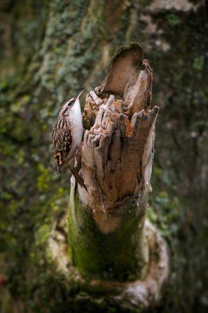 Treecreeper | Boomkruiper