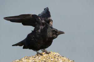 Black Crow | Zwarte Kraai