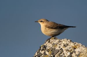 Northern Wheatear   Tapuit