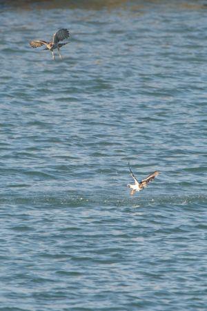 Sparrowhawk   Sperwer