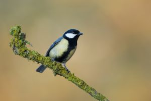 Great Tit | Koolmees