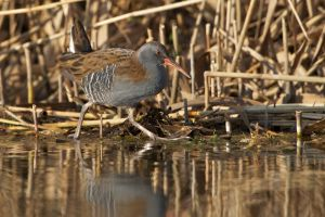 Water Rail | Waterral