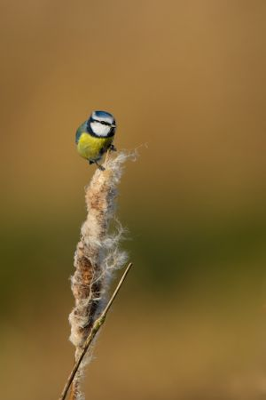 Blue Tit | Pimpelmees (Warmond)