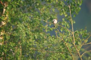 Red-backed Shrike | Grauwe Klauwier (Boxtel)