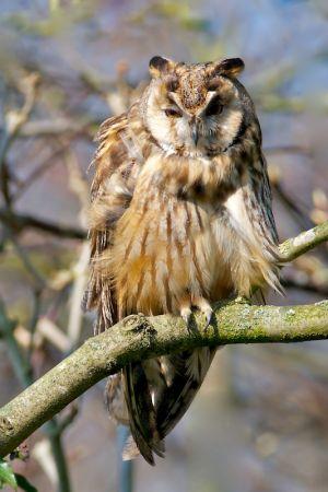 Long-eared Owl | Ransuil (Zwammerdam)