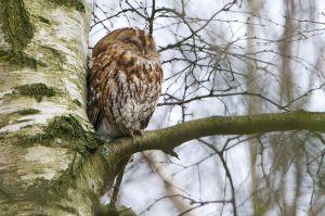 Tawny Owl | Bosuil (Boskoop)