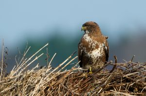 Common Buzzard | Buizerd (Burgh Haamstede)