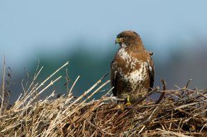 Common Buzzard | Buizerd (Burgh Haamstede)