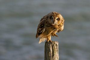 Short-eared Owl | Velduil (Burghsluis)