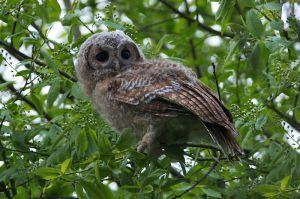 Tawny Owl juv. | Bosuil (Boskoop)