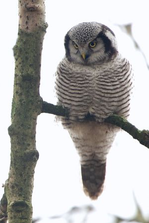 Northern Hawk-owl | Sperweruil (Zwolle)