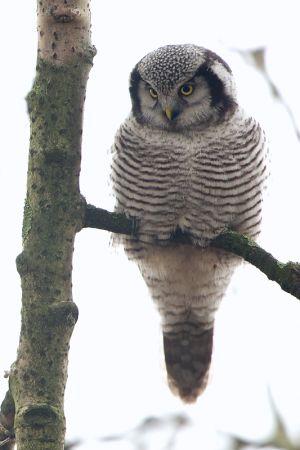 Northern Hawk-owl | Sperweruil (Zwolle)