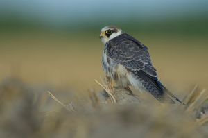 Red-footed Falcon | Roodpootvalk (Ouddorp)