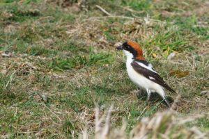 Woodchat Shrike | Roodkopklauwier (Zoetermeer)