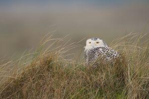 Snowy Owl | Sneeuwuil (Vlieland)