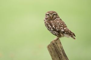 Little Owl | Steenuil