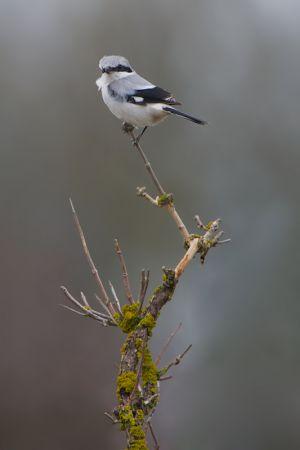Great Grey Shrike | Klapekster (Wassenaar)