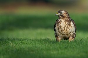 Common Buzzard | Buizerd (Den Haag)