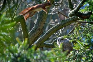 Tawny Owl juv. | Bosuil (Den Haag)