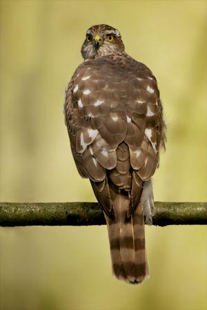 Sparrow-hawk fem. | Sperwer (Den Haag)