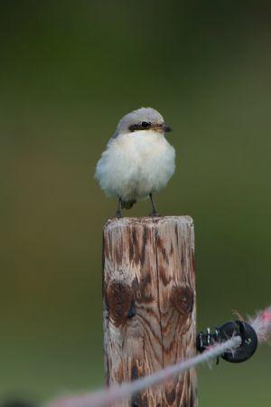 Lesser Grey Shrike | Kleine Klapekster (Zeeland)