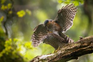 Sparrow-hawk | Sperwer (Den Haag)