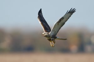 Rough-legged Buzzard | Ruigpootbuizerd (Almere)