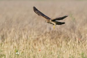 Hen Harrier | Blauwe Kiekendief (Almere)