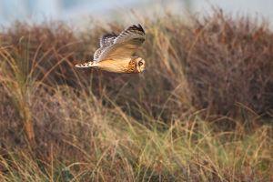 Short-eared Owl | Velduil (IJmuiden)