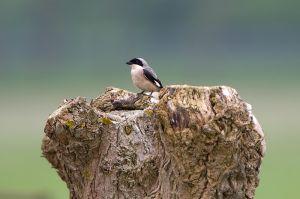 Lesser Grey Shrike | Kleine Klapekster (Voorhout)