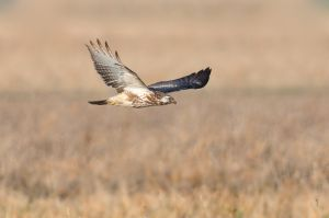 Common Buzzard | Buizerd (Almere)