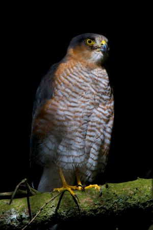 Sparrow-hawk | Sperwer (Den Haag)
