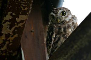 Little Owl | Steenuil (Berkel en Rodenrijs)