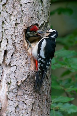 Great Spotted Woodpecker - female&juv | Grote Bonte Specht (Den Haag)