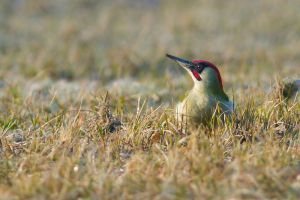 Green Woodpecker | Groene Specht (Wassenaar)