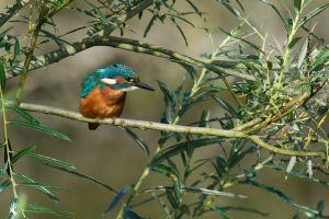 Kingfisher | IJsvogel (Leidschendam)