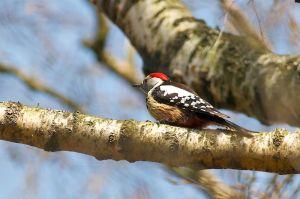 Middle Spotted Woodpecker | Middelste Bonte Specht (Vaals)
