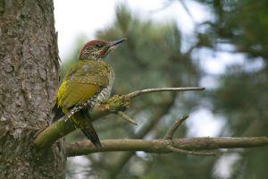 Green Woodpecker juv. | Groene Specht (Wassenaar)