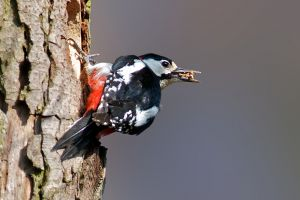 Great Spotted Woodpecker male | Grote Bonte Specht (Den Haag)
