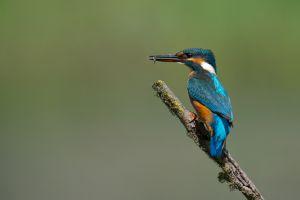 Kingfisher | IJsvogel (Zoetermeer)