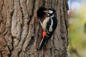 Great Spotted Woodpecker | Grote Bonte Specht (Katwijk)
