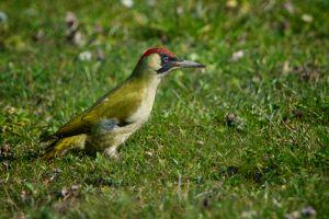 Green Woodpecker | Groene Specht (Zoetermeer)
