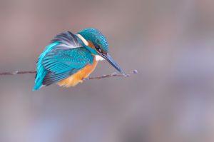 Common Kingfisher | IJsvogel (Wassenaar)