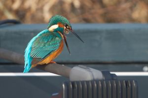 Common Kingfisher | IJsvogel (Wassenaar)